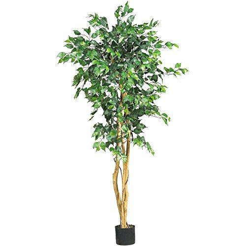 5? Ficus Tree