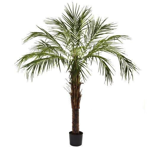 6? Robellini Palm Tree