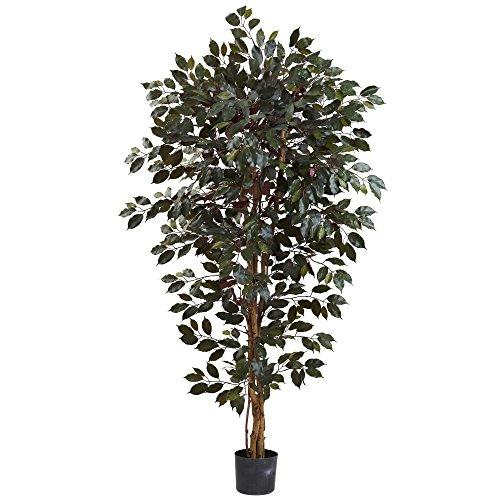 6? Capensia Ficus Tree